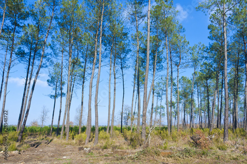 Fototapeta Forêt de pins obraz na płótnie