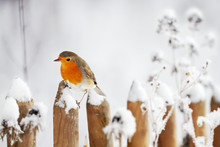 European Robin Perching On A G...