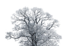 Decidious Tree Covered In Thick Snow Isolated