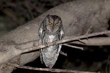 Assiolo,Otus Scops,Scops Owl