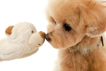 Poodle Puppy With Teddy Bear