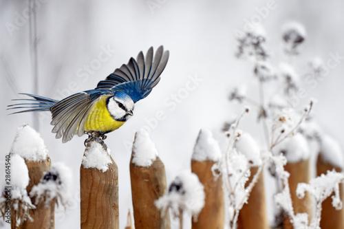 Cuadros en Lienzo Blue Tit landing on a snow-covered garden fence