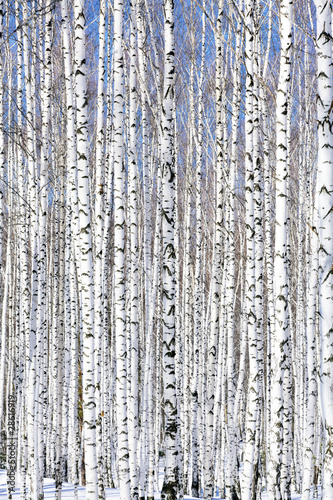 Foto-Kuscheldecke premium - Winter birch forest - winter serenity. (von Nobilior)