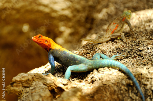 Male and Female of Red-headed Rock Agama Wallpaper Mural