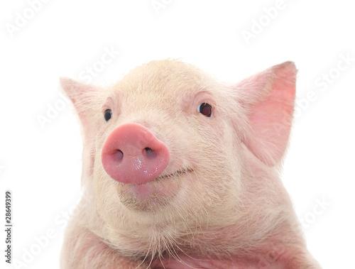 Portrait of a pig Canvas