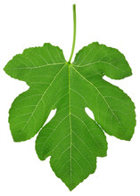 Fig Leaf With Clipping Path