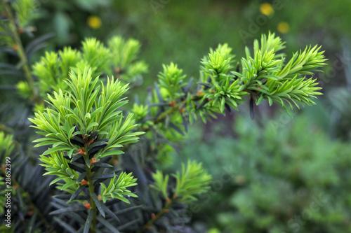Obraz na płótnie Yew tree (Taxus cuspidata). Growing branch of Japanese yew.