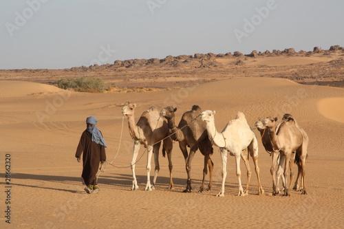 Valokuva  Dromadaires dans le sud libyen