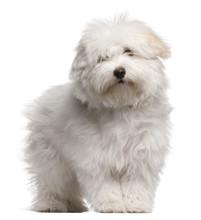 Coton De Tulear Puppy, 4 Month...