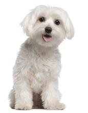 Maltese Puppy, 9 Months Old, S...