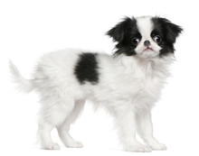 Japanese Chin Puppy Or Japanes...