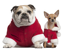 English Bulldog And Chihuahua In Santa Outfits Sitting