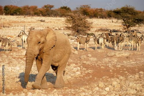 Aluminium Prints Elephant Elephant Walking