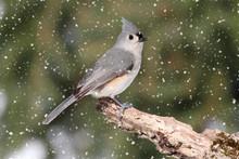 Titmouse In Snow