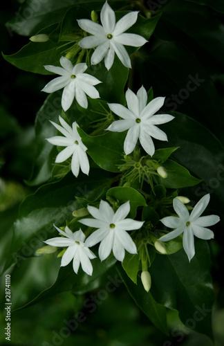 Photo  Jasmin des haies (jasminum multiflorum)