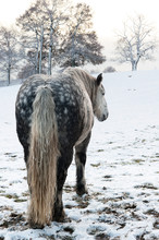 Dapple Grey Horse In Snowy Win...