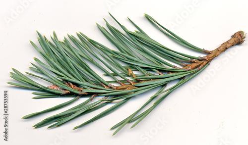 Obraz na plátne  Scotch Pine
