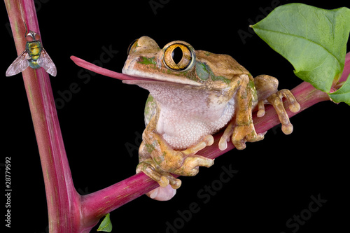 Foto op Aluminium Kikker Frog catching fly with tongue