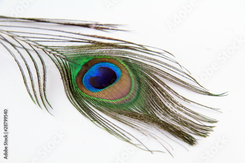 Paon Feather of a peacock on a white background
