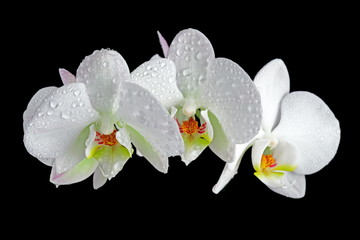 Obraz na SzkleWhite orchid with drop of dew