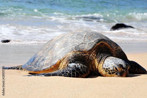Poster Tortue giant tortoise on waimea beach
