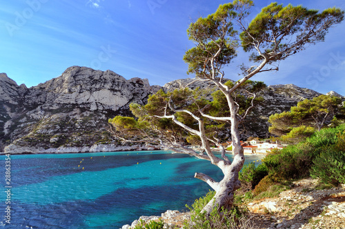 Pin du littoral dans les calanques de Marseille