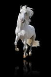 Fototapeta Młodzieżowe - white horse isolated
