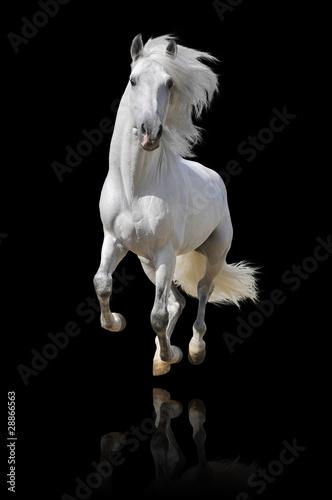 Fototapety, obrazy: white horse isolated
