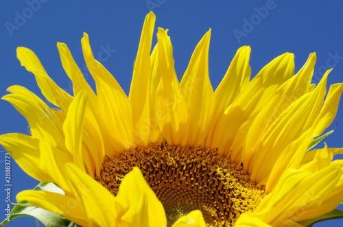 Foto auf Gartenposter Sonnenblume Blüte einer Sonnenblumen