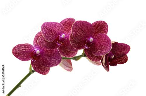 czerwona-orchidea-odizolowywajaca-na-bialym-tle