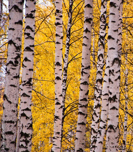 Spoed Fotobehang Berkbosje Birch forest
