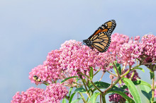Monarch Butterfly On Swamp Mil...