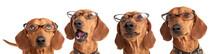 Dog Dachshund In Glasses Close...