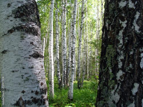 Spoed Fotobehang Berkbosje forest