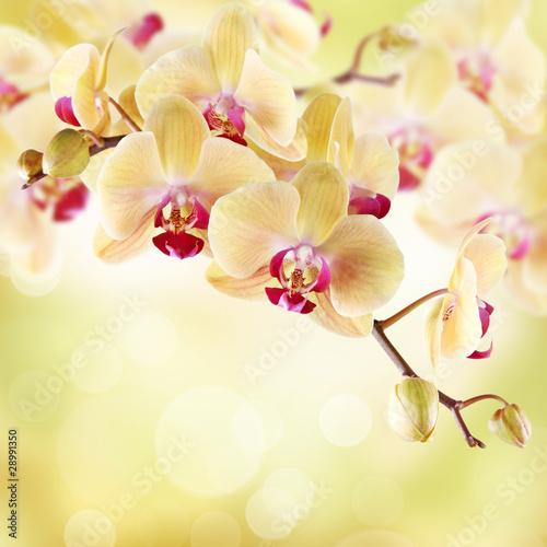 Fototapety do salonu kosmetycznego   zolta-orchidea-na-lekkim-tle