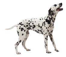 Dalmation Standing On White Background