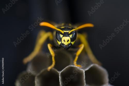 Fényképezés Wasp guarding nest