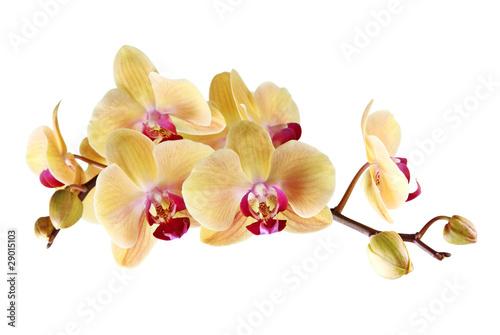 zolta-orchidea-na-bialym-tle
