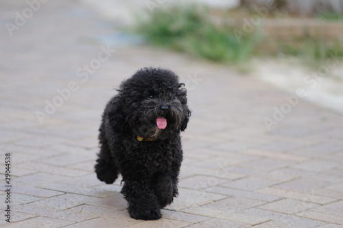 Poster de jardin Vache A toy poodle dog running on the ground