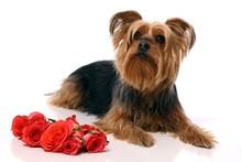 Hund Yorkshir Terrier Mit Rosen