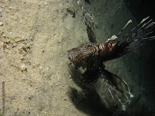 Lionfish eating it s prey