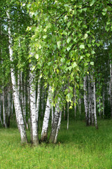 Fototapeta Brzoza birch trees with young foliage