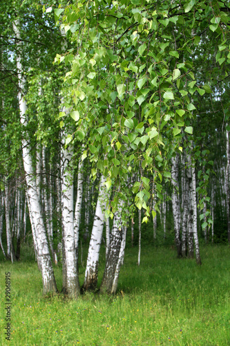Door stickers Birch Grove birch trees with young foliage