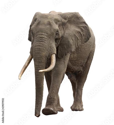 Foto op Aluminium Olifant elephant approaching isolated
