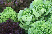 A Variety Of Lettuces Growing In The Garden
