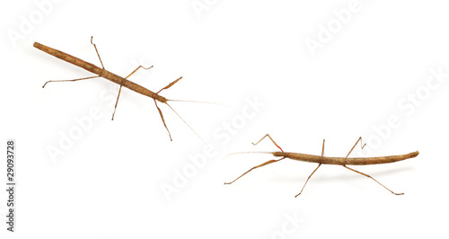 Photo  stick bug, insect