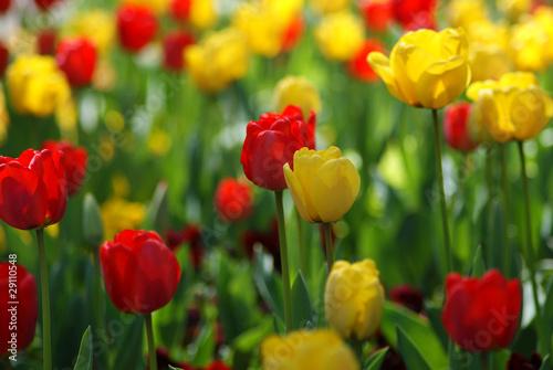 Poster Printemps Tulip Garden