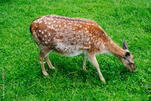 Fototapeten Natur Пятнистый олень на зеленой траве