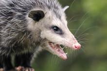 Opossum(Didelphis Virginiana) ...