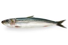 Japanese Sardine, Japanese Pil...